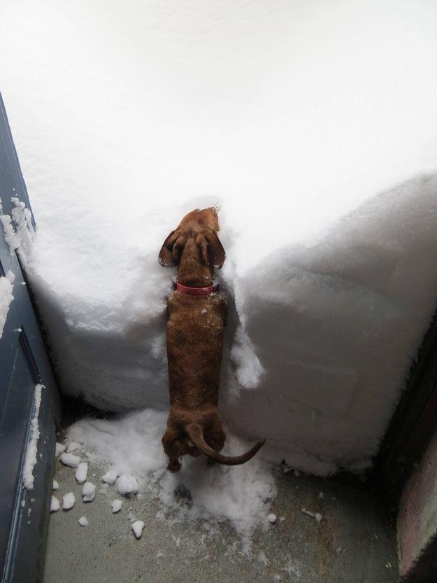 Dachshund And Deep Snow