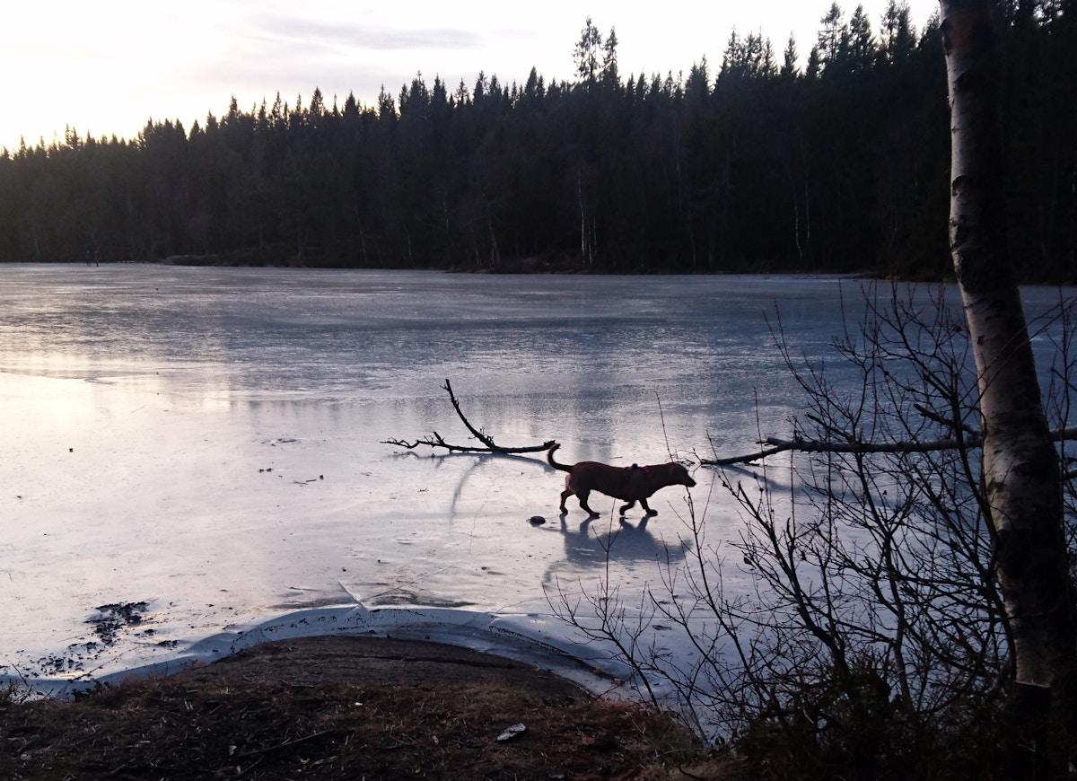 Dachsen rasker over isen