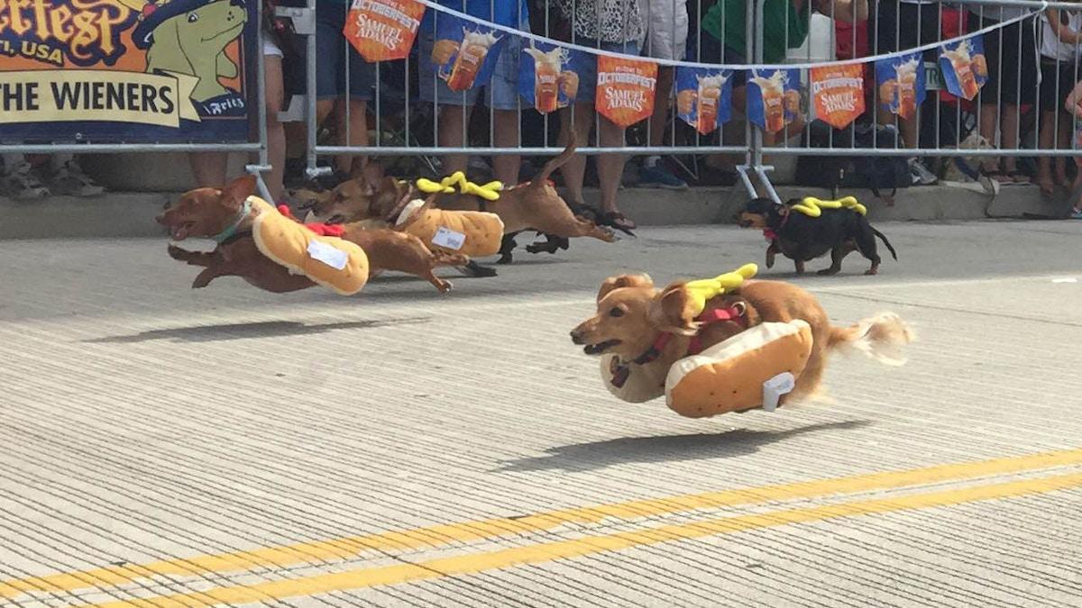 Løpende pølsehunder