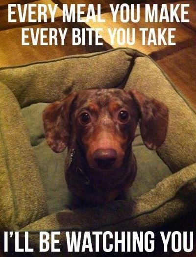 Every Meal Dachshund Meme